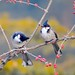 red_whiskered_bulbul_birds-wide