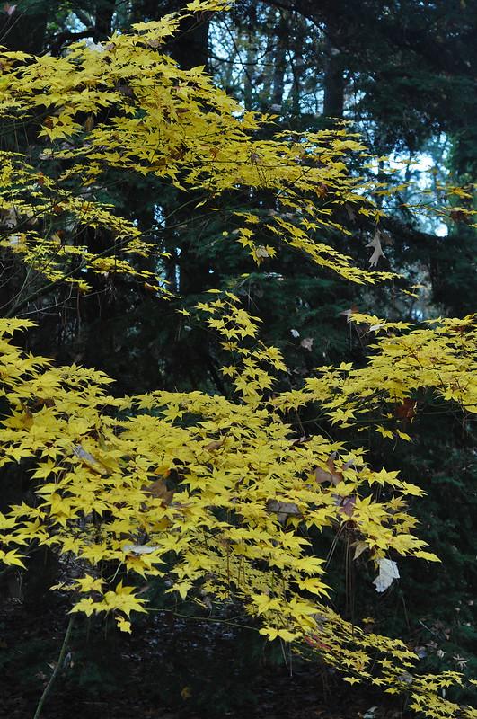 Acer palmatum 'Hogyoku'