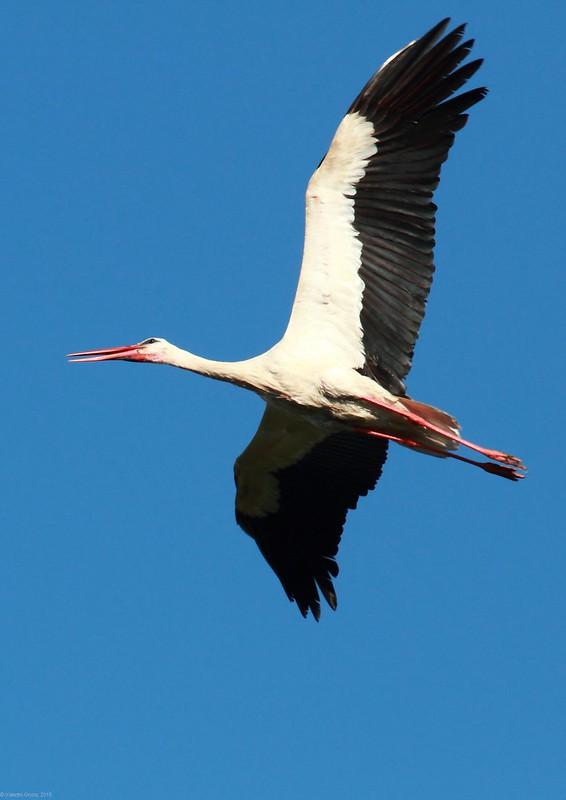 Stork in flight 2