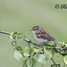 Bruant Familier  Chipping sparrow by ricketdi