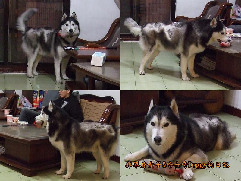 2012哈士奇doggy寵物玩具04
