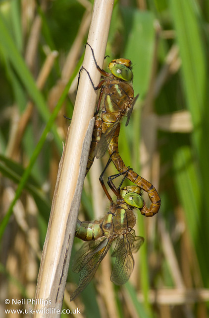 mating norfolk hawkers-2