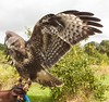 Young Buzzard wings spread by phillipbonsai