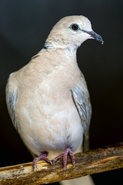 Header of African collared dove