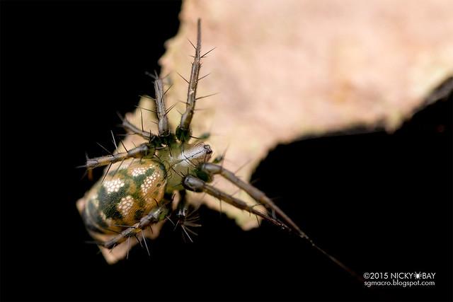 Orb weaver spider (Mangora sp.) - DSC_2132