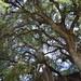 Taxodium mucronatum (El árbol del tule), Taxodiaceae, Santa María del Tule, OAX, México por Vinícius A.O. Dittrich
