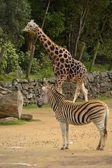 Giraffa camelopardalis DT [NZ Auckland Zoo] (2)