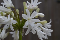 AGAPANTHUS 'Littlecourt'