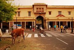 Bos taurus DT [IN Jaipur] (3)