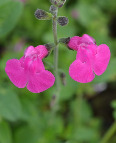 SALVIA microphylla 'Blush Pink'