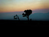 Joshua Tree by Francesco Stella