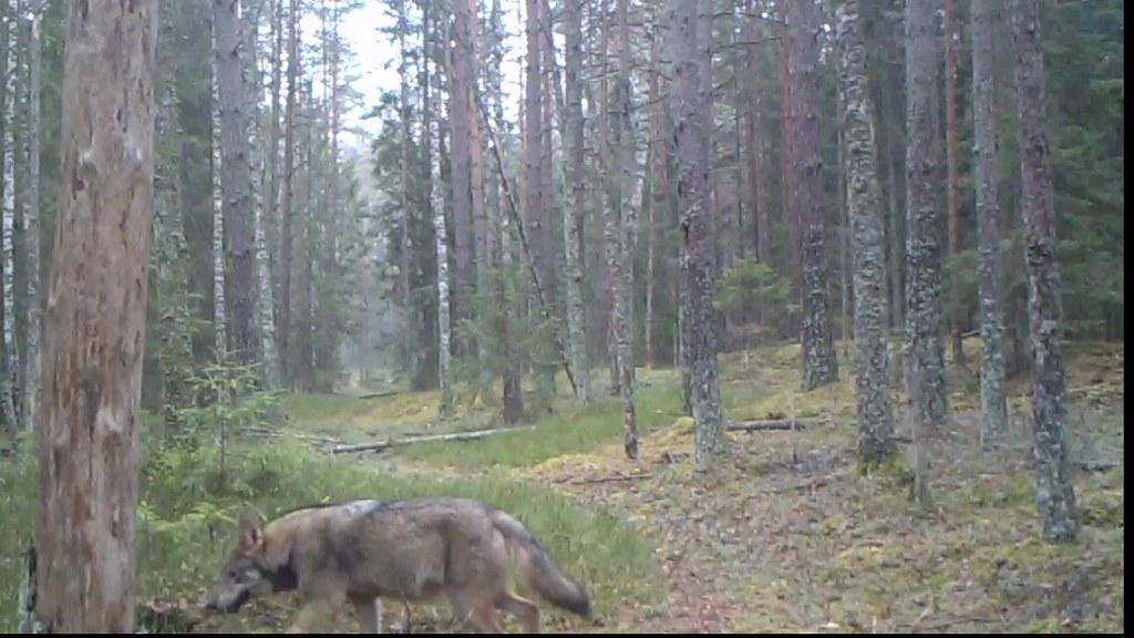 Vilkas (Canis lupus)