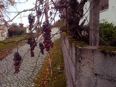 Withering on the vine, Frazumeira
