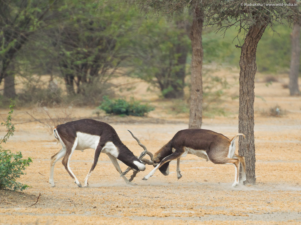 Blackbucks battle - 3