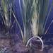 Small photo of Buckled Typha rhizome, Radyr Works pool.