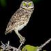 Burrowing Owl (Athene cunicularia) by Glenn Bartley - www.glennbartley.com