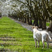 Day 56 ~ Charlie in the almond orchard by champbass2