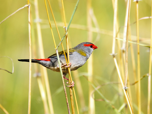 Red-browed Finch (Neochmia temporalis), Sony ILCA-99M2, Sony 300mm F2.8 G SSM II (SAL300F28G2)