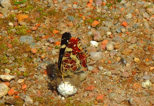 Landkärtchen seitlich - map butterfly