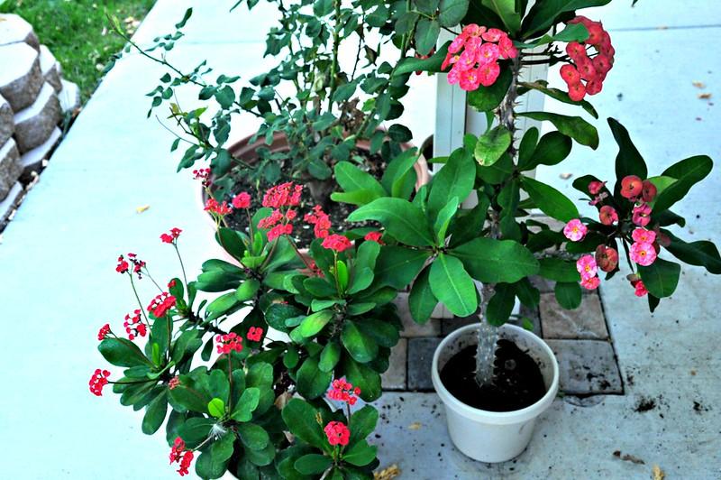 Euphorbia in America