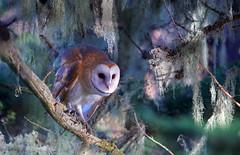 Barn Owl - 2M2K15-526