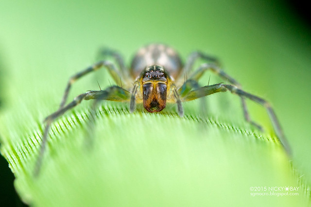 Ghost sac spider (Anyphaenidae) - DSC_4239
