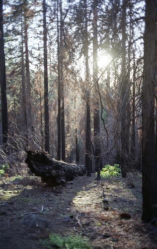 "Image titled ""#2, Fallen, Tuolumne Grove."""