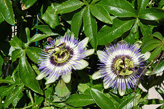 macro photography(0.0), flower(1.0), purple passionflower(1.0), plant(1.0), wildflower(1.0), flora(1.0),