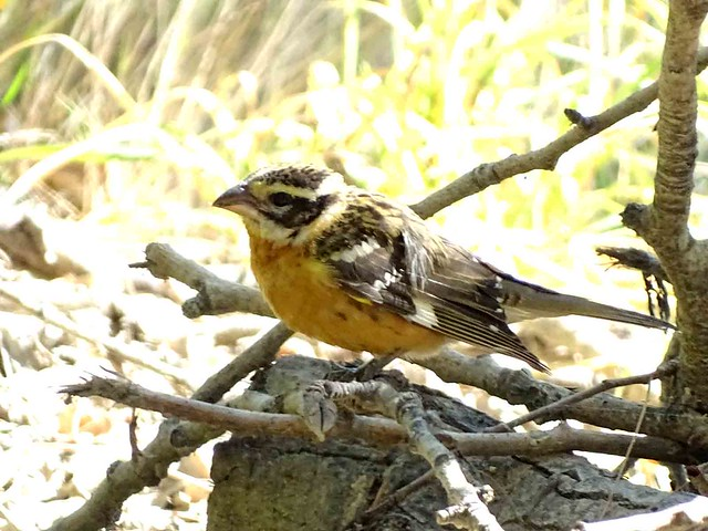 Sep11,2015 128 Black-headed Grosbeak