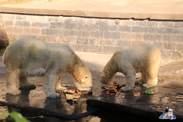Eisbär Fiete im Zoo Rostock 26.09.2015   0225