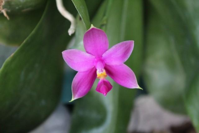 Phalaenopsis bellina x violacea coerulea indigo 22179671491_c31dd4c21b_z