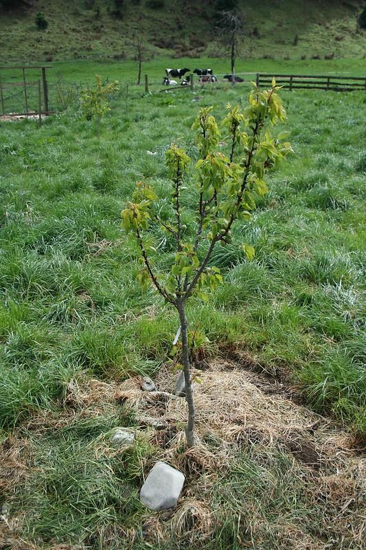 2015-10-17 - Moorpark apricot tree