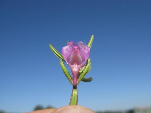 Misopates orontium flower2 NC