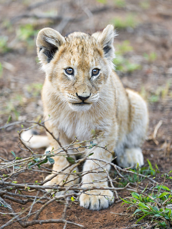 Cute lion cub posing on the bush