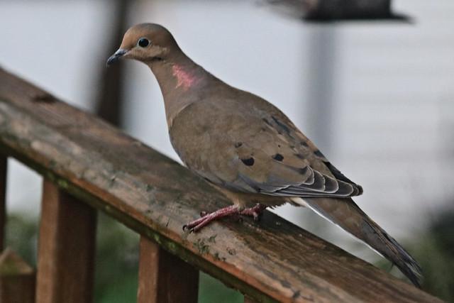 Brown Bird on Deck