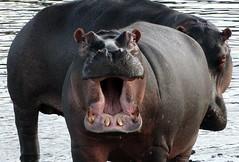 Hippo Smile