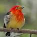 Bailarín naranja - Band-tailed Manakin - Pipra fasciicauda by robertoguller