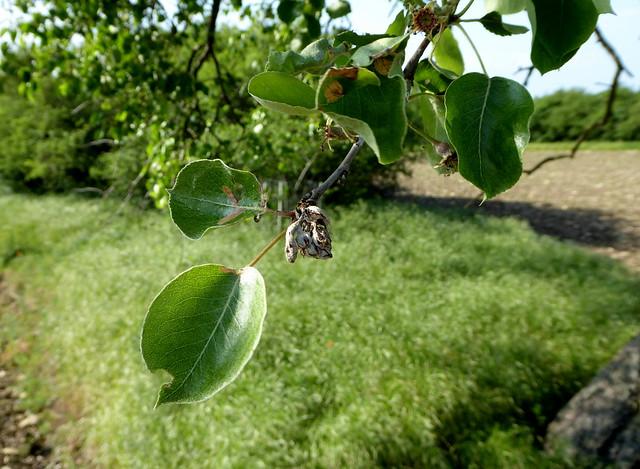 Pflanzengalle an Birnbaumblatt.