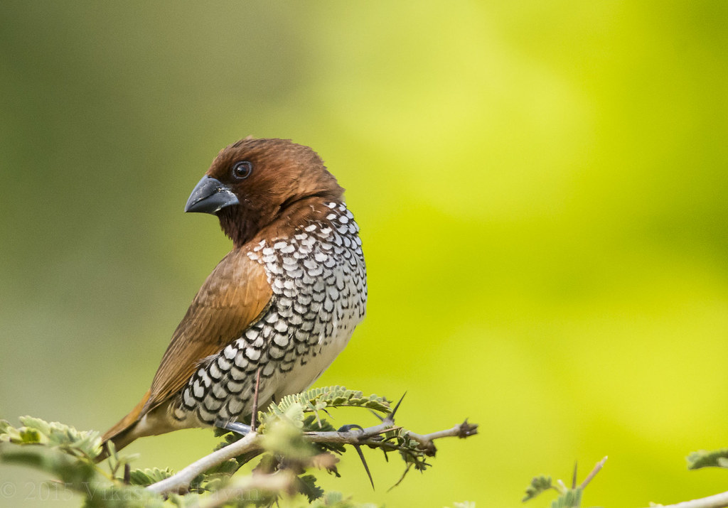 Scaly-breasted Munia - Male.