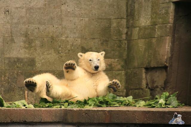 Eisbär Fiete imm Zoo Rostock 15.08.2015 Teil 2  245