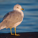 a seagull in early morning light by popov sin