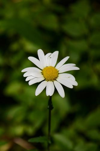 Daisy #2 - Zoom