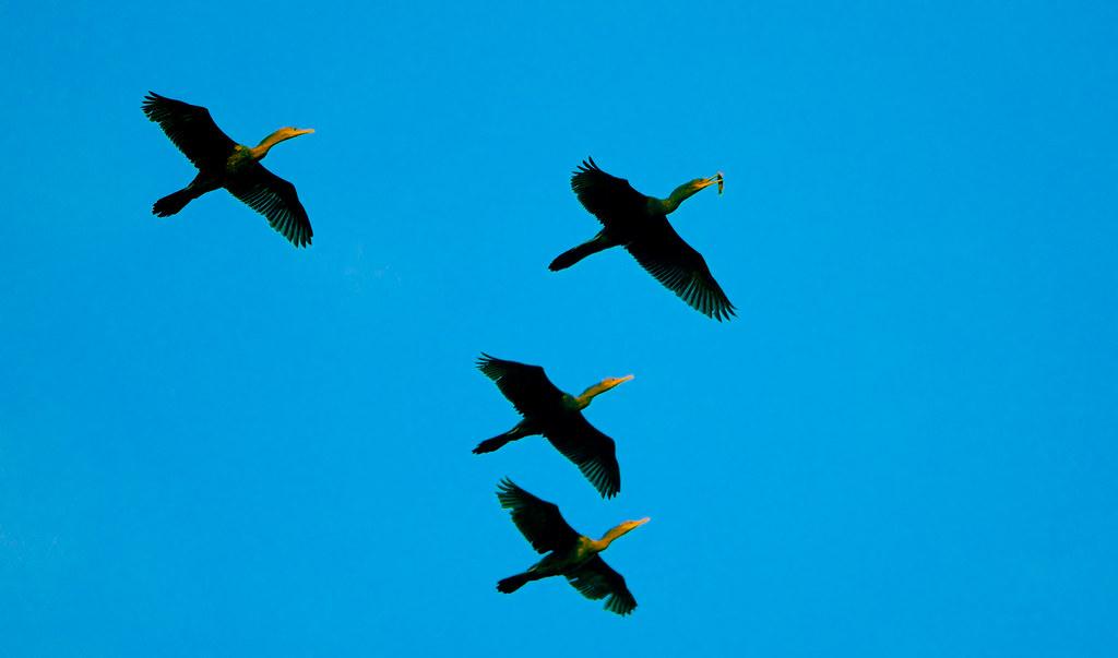 Cormorant_56