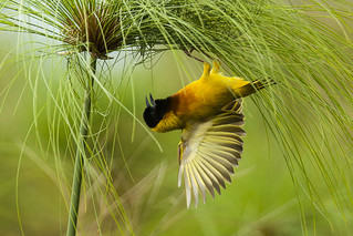 Black-headed Weaver - Uganda_MG_1449