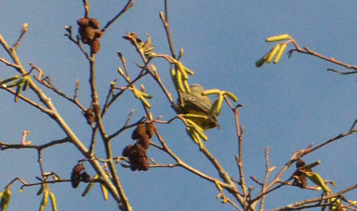 Tropical Kingbird - 11/3/2015