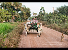 Travelling by cattle cart, Siem Reap, Cambodia