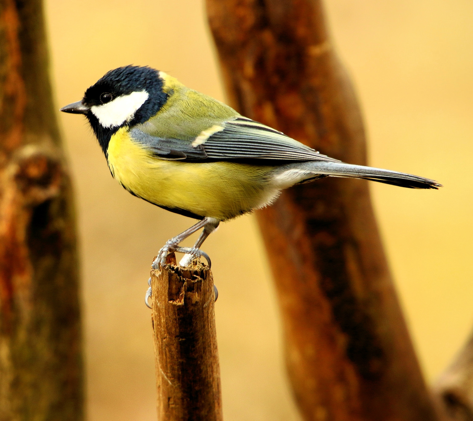 Great Tit. Credit Airwolfhound