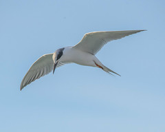Forster's Tern in flight