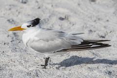 Royal Tern profile