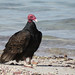 Turkey Vulture por Birdernaturalist